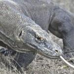 科摩多巨蜥有可能成為打擊感染的有力武器